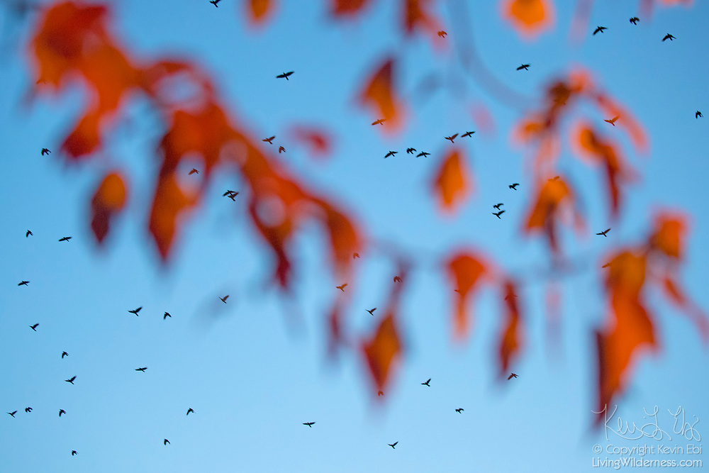 Viewed through autumn leaves, a large murder of American crows (Corvus brachyrhynchos) fills the sky on the way to a roost site in Bothell, Washington. During the fall and winter months, as many as 15,000 crows roost there each night.