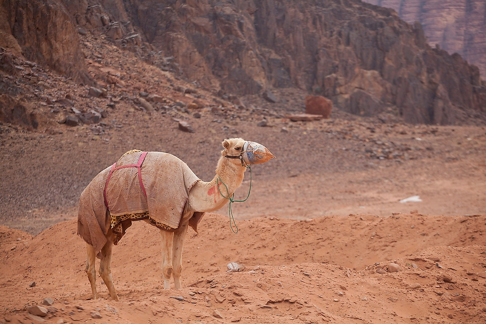 A camel wears a muzzle and blanket outside Rum Village, Wadi Rum, Jordan.