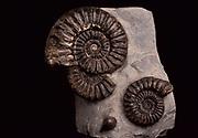 Ammonites, Fossil, on stone, Jurassic period time, 200 Million years ago, spiral mollusc like animal