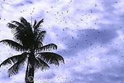 sooty terns, Sterna fuscata, fill the air at the start of the breeding season, Christmas Island ( Kiritimati ), Republic of Kiribati, northern Line Islands, equatorial Central Pacific Ocean