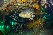 Goliath Grouper, Epinephelus itajara, and Cigar Minnows, Decapterus punctatus, swim near the shipwreck of the Mispah offshore Singer Island, Florida, United States.