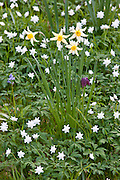 Spring and summer perennial flowers, snakeshead fritillary, daffodils, bluebell in a garden in Cornwall, England, UK