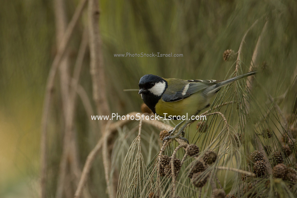 Great Tit (Parus major) perched on a branch, This bird is widespread throughout Europe and Asia and grows up to 14 centimetres long. It is primarily an insectivore preferring to feed its young with protein rich caterpillars during the breeding season. Photographed in Israel in February