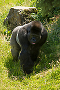 Male Western Lowland Gorilla, Gorilla gorilla gorilla, roaming enclosure at Jersey Zoo - Durrell Wildlife Conservation Trust, Channel Isles