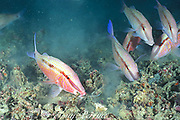 goatfish, Parupeneus sp.,<br /> stir up bottom as they feed, <br /> probing rubble with sensory barbels,<br /> Mabul Island, off Borneo, Sabah, <br /> Malaysia, ( Celebes Sea )