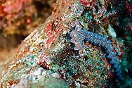 Blue Dragon Nudibranch, Pteraeolidia ianthina, (Angas, 1864), Molokai Hawaii