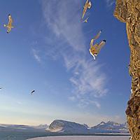 SPITSBERGEN, Norway. Kittiwake gulls land at cliff rookery by King's Fjord, near Ny Alesund.