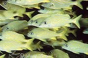 French grunts, Haemulon flavolineatum, pack densely into shipwreck, Bahamas ( Western Atlantic Ocean )