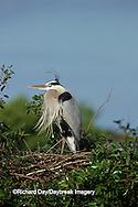00684-01514 Great Blue Heron (Ardea herodias) at nest    FL