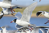 Mediterranean Gull - Larus melanocephalus - with Black-headed Gulls. L 36-38cm. Similar to Black-headed but has stouter bill; adult has uniformly pale wings. Sexes are similar. Adult in summer has pale grey back and wing coverts, and white flight feathers. Note black hood and white 'eyelids'; bill is mainly red, with yellow tip and black sub-terminal band. Legs are deep red. In winter, loses dark hood; whitish head has menacing look created by dark smudges. Juvenile has grey-brown upperparts with pale margins to back feathers. Note darkish flush on breast. Bill and legs are dark; tail has dark terminal band. 1st winter bird is similar to juvenile but with plain grey back and dark smudges on head. Adult plumage is acquired by 3rd winter. 2nd year bird resembles adult (at respective times of year) but with variable black in wingtips. Voice Utters cow-cow-cow call. Status Very locally common, usually with Black-headeds. Small numbers nest in S England. More widespread outside breeding season.