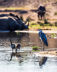 A grey heron and his friends at the waterhole in Kruger National Park. Egyptian Geese, Rhino, Buffalo.