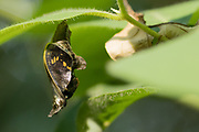 White admiral (Limenitis camilla) pupa suspended from honeysuckle (Lonicera periclymenum). Day 23. Sussex, UK.