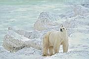 Polar bear on Hudson Bay Coast<br />Churchill<br />Manitoba<br />Canada