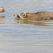 Raccoon kit (Procyon lotor) swims through belly-deep water while following parent. Photographed at Merritt Island NWR on  Florida's Atlantic coast.