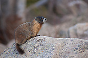 A Colorado yellow-bellied marmot sits on a rock.