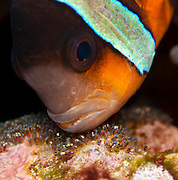 Female Clark's Anemonefish (Amphiprion clarkii) aerating her eggs in Komodo National Park, Indoneisa.