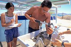 Marissa Kobayashi & Tony Galvan Measuring Black Sea Turtle