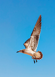A Seagull soars through skies of blue