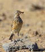 An American pipit (Anthus rubescens) poses with an insect that it caught above the tree line in Mount Rainier National Park, Washington. American pipits are found in the tundra and on alpine slopes and they forage by walking on the ground, taking insects from the ground or from low plants.