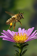"honey bee (Apis mellifera) and a garden flower. Pollin has gathered on the legs into ""pollen baskets""."