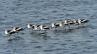 American Avocet (Recurvirostra americana). Black Point Wildlife Drive. Merritt Island National Wildlife Refuge. Image taken with a Nikon D3 camera and 70-200 mm f/2.8 VR lens.