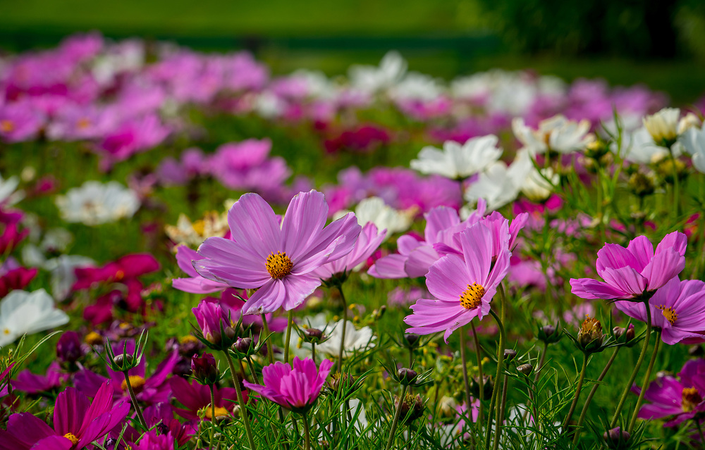 "This pink coreopsis or ""pink lady"" flowers were taken in San Fransisco, California."