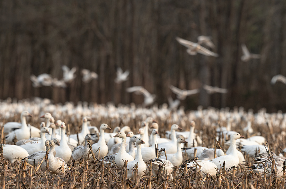 Flock of Snow Geese feeding together in a winter field