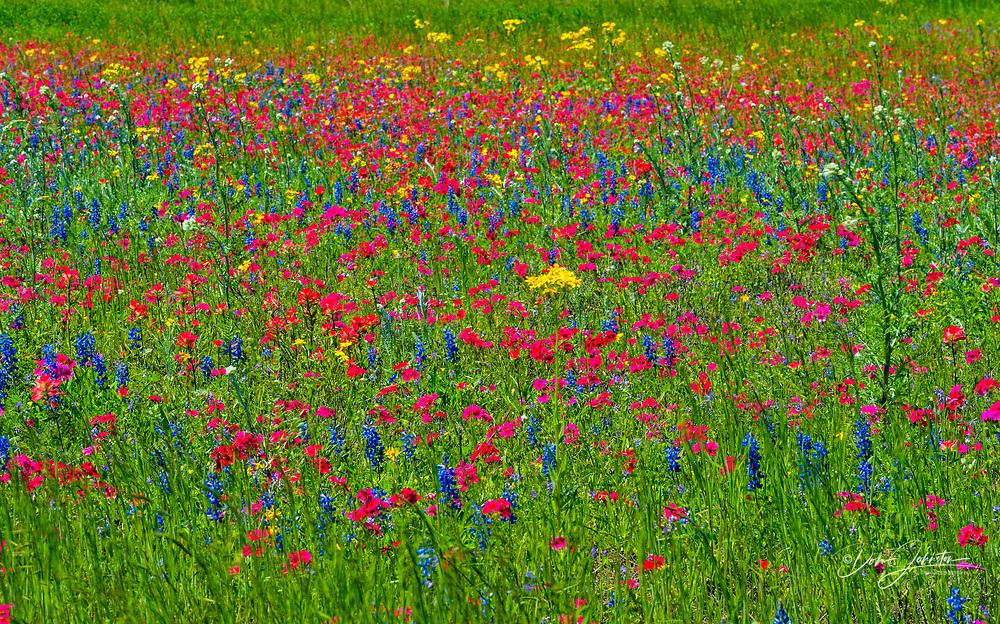 Roadside wildflowers featuring phlox and bluebonnets, Seguin, Texas, USA