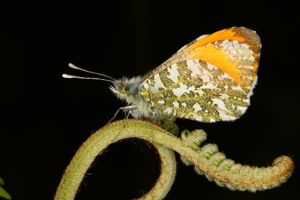 Orange-Tip Butterfly, United Kingdom