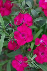 Dianthus barbatus 'Festival Cherry' - Festival Series. Sweet William