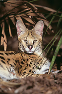 Serval portrait, resting, showing its large ears (in captivity in rehabilitation/educational facility, Florida), © David A. Ponton