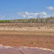 Dead mangroves in the western coastal region of Madagascar. <br /> <br /> A mangrove, a shrub or small tree that grows in coastal saline or brackish water, are key to a healthy marine ecology, providing shelter to crabs and shrimps, and reducing soil erosion. Birds, sea turtles, and dugongs, an endangered marine sea mammal, all use mangroves. The land-sea barrier is also an extremely efficient way to retain CO2, thus contributing to climate protection, says WWF. <br /> <br /> Yet, rising sea levels, human activities, and cyclones, have harmed these valuable ecosystems, leading to decline everywhere in Madagascar. <br /> <br /> The community of Ambakivao works daily, with the support of WWF, for the sustainable management of nearly 3,000 hectares of mangrove forests. WWF teaches fishermen, who hunt for crabs living in the mangrove, to maintain or increase their food production without destroying the delicate habitat. <br /> <br /> <br /> Madagascar is the world's forth largest island off the coast of east Africa.