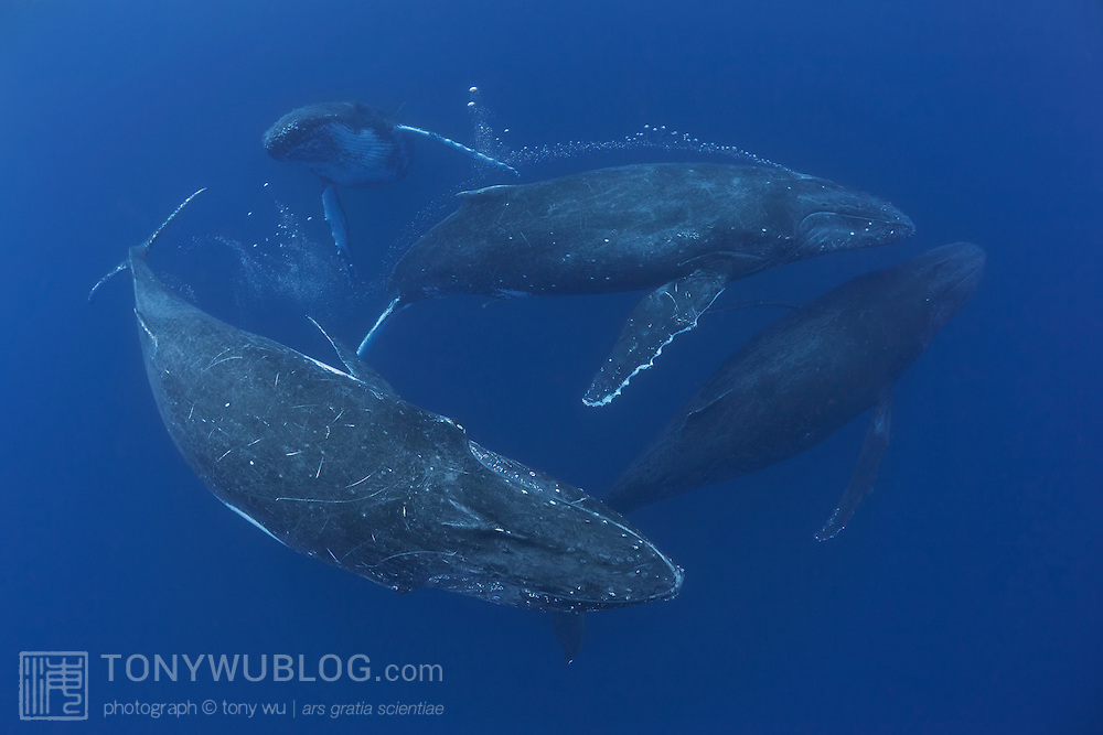 These four humpback whales were part of a heat run comprising six testosterone-fueled males in pursuit of a single fertile female. Swimming at high speed, the whales appeared from the blue haze below, charging toward the surface in a mad rush. I dived down and waited in mid-water for them. <br /> <br /> As this group of four hurtled past me, I experienced a surge of adrenalin, triggered by the simultaneous exhilaration and apprehension of such a close encounter with a quartet of 40-ton animals. <br /> <br /> The four whales pictured here are all male, one of which is blowing bubbles--a common behaviour that may signify aggression when observed during heat runs. <br /> <br /> The female surfaced some distance away together with the other males, which certainly explains why these whales were in such a rush!