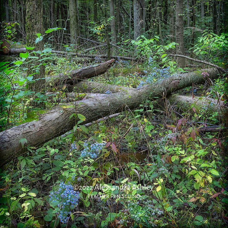Wild asters framed by fallen trees at Fowler's Woods State Nature Preserve, on the last day of summer.