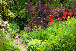 Papaver orientale 'Goliath' in front of Cotinus coggygria Purpureus Group in the hot border at Glebe Cottage