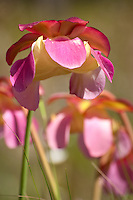 The beautiful flower of the gulf purple pitcher plant, growing in the Apalachicola National Forest - world renowned for it's carnivorous plant biodiversity.