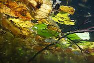 Oregon Chub<br /> <br /> Todd Pearsons/Engbretson Underwater Photography