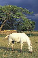 Caballo blanco en corral, Hacienda Los Canos, Estado Lara, Venezuela