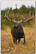 Alaska moose tour images