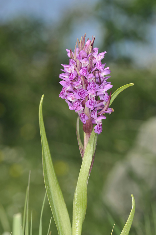EARLY MARSH-ORCHID Dactylorhiza incarnata (Orchidaceae) Height to 60cm. Orchid of damp meadows, often on calcareous soils, but sometimes on acid ground. FLOWERS are usually flesh-pink, but are creamy white or reddish purple in certain subspecies; 3-lobed lip is strongly reflexed along the mid-line, hence flower is narrow when viewed front-on. Flowers borne in spikes (May-Jun). FRUITS are egg-shaped. LEAVES are yellowish-green, unmarked, narrow-lanceolate and often hooded at the tip. STATUS-Local throughout the region.