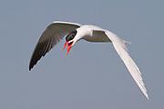 Caspian Tern in flight with open bill.(Sterna caspia).Bolsa Chica Wetlands,California