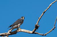 A Peregrine Falcon, Falco peregrinus, perches in a tree in Sacramento National Wildlife Refuge, California