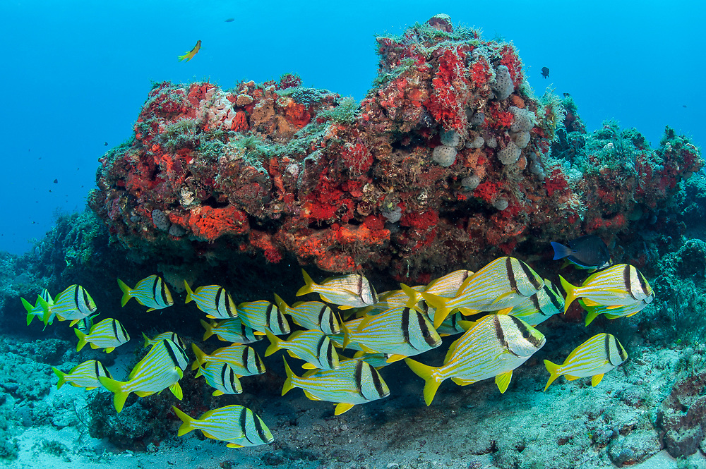 A school of Porkfish, Anisotremus virginicus, gathers near a rocky reef offshore Juno Beach, Florida, United States.