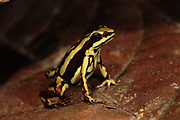 Poison Arrow Frog<br />