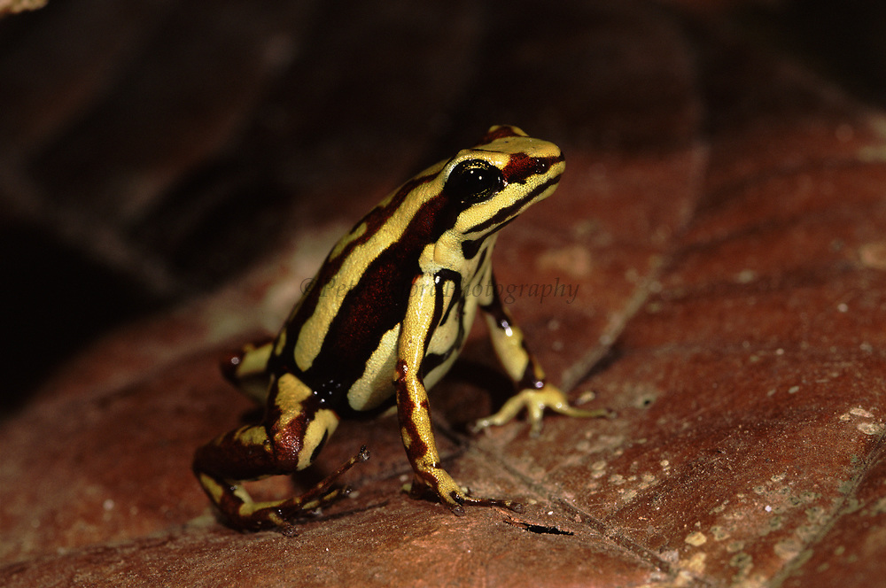 Poison Arrow Frog<br />Epipedobates tricolor<br />Wester ECUADOR.  South America