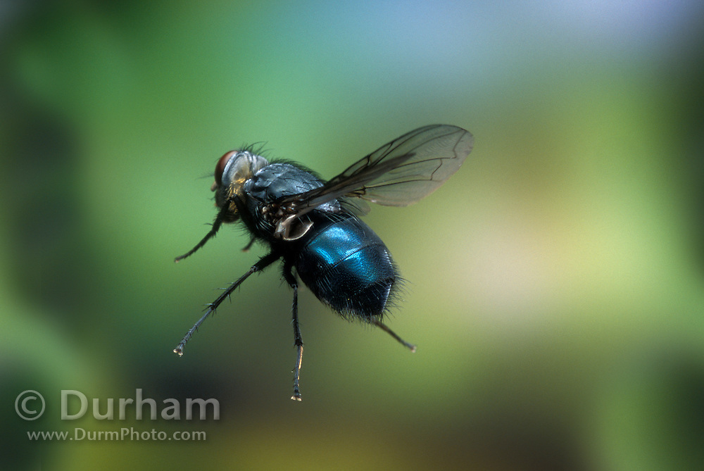 An adult Blow Fly (Calliphoridae spp.) in flight. These flies are attracted to carrion or dung. Mount Hood National Forest, Oregon. Please Note: This image has been digitally altered - another insect that was partially in frame was removed, and the image is cropped. The shape and flight attitude of the insect remain unchanged.
