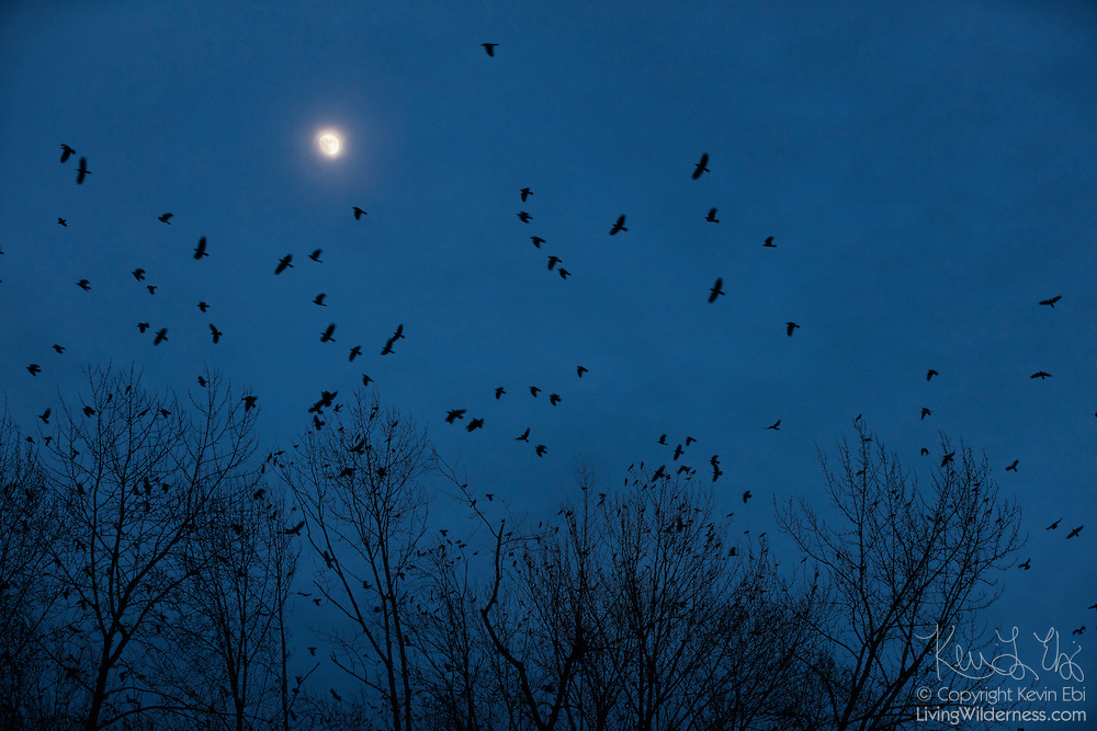 Hundreds of American crows (Corvus brachyrhynchos) take off at moonrise from their temporary perch along the Sammamish River in Bothell, Washington. They spend the day in small groups of up to a dozen, but gather in large groups near sunset. At night, they all fly to one large roost that is home to more than 10,000 crows.