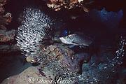 tarpon, Megalops atlanticus, feeding on dwarf herring, Jenkensia sp., Eden Rocks, Grand Cayman, Cayman Islands, British West Indies ( Caribbean Sea )