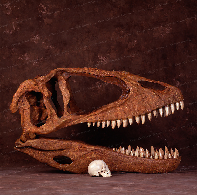 Reconstruction of 90-million-year-old Carcharodontosaurus skull discovered by University of Chicago professor Paul Sereno on expedition to Niger in the Sahara.