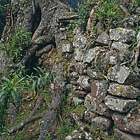 Tree roots entangle Inca ruins in the upper Amazon cloud forests.